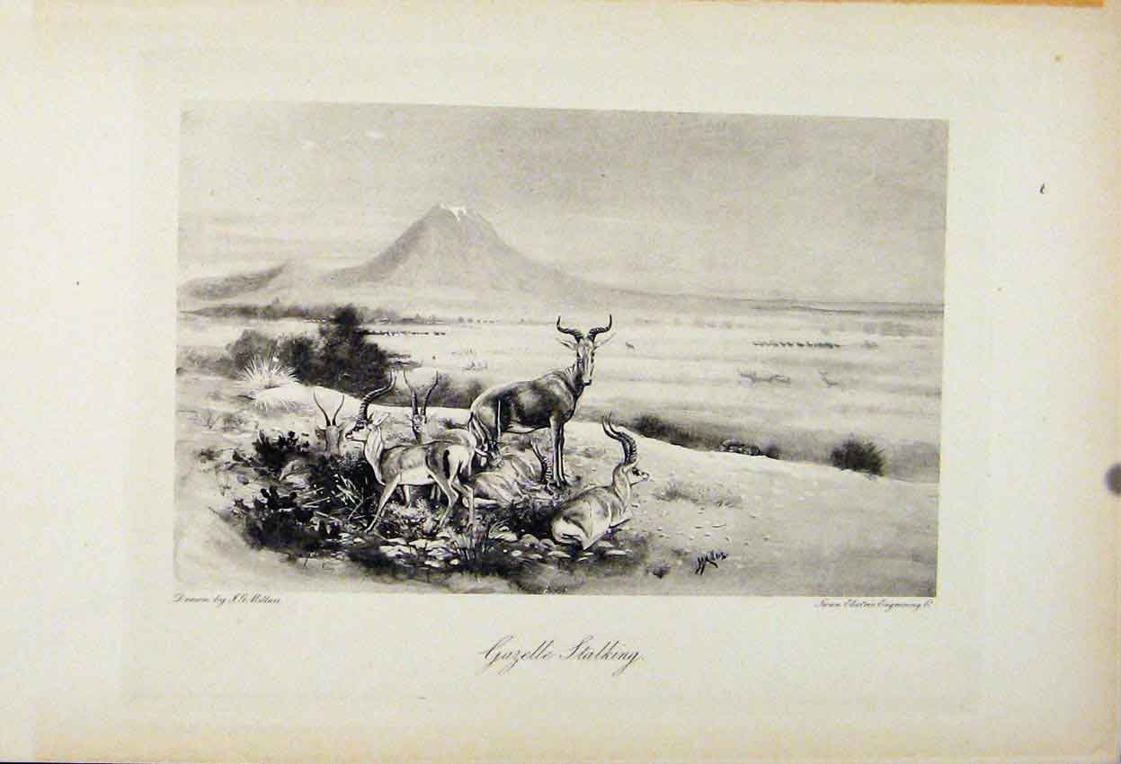 Print Gazelle Stalking The Encyclopedia Sport Animal Art 368241 Old Original