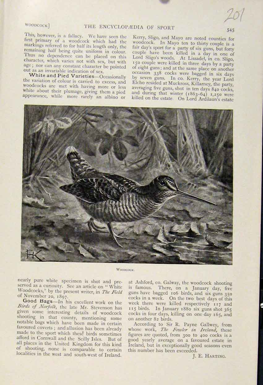 Print Woodcock Bird The Encyclopedia Sport C1898 018241 Old Original