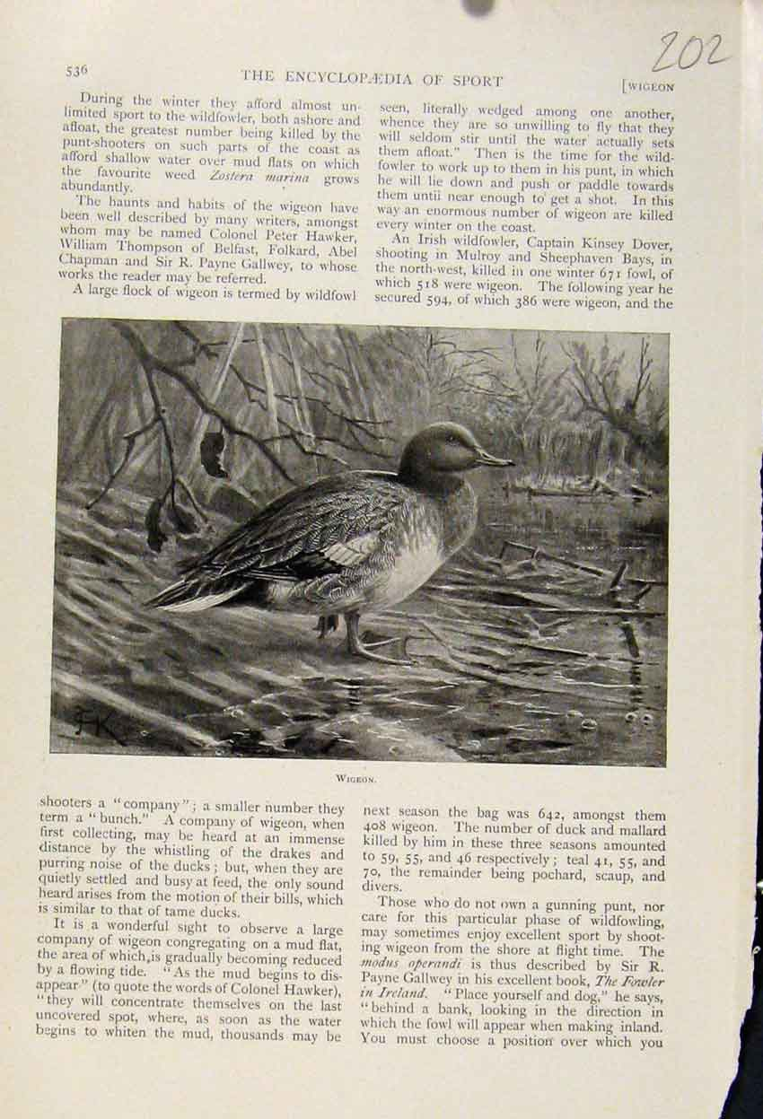 Print Wigeon Birds The Encyclopedia Sport 028241 Old Original