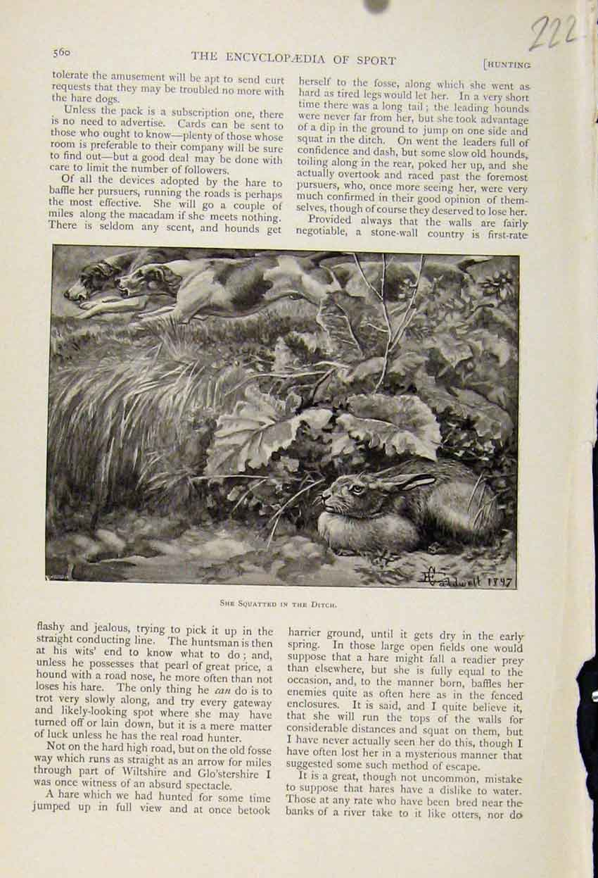 Print Rabbit Hiding From Hunting Dogs C1898 Art 228241 Old Original