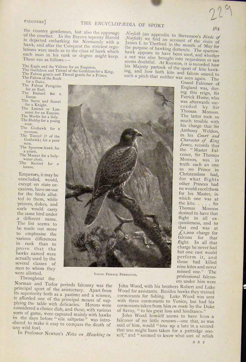 Print Young Female Peregrine Bird Fine Art 1898 298241 Old Original