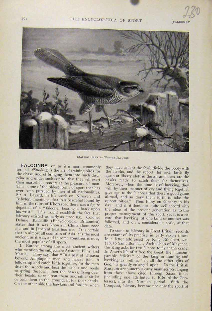 Print Sparrow Hawk Winter Plumage C1898 Art 308241 Old Original