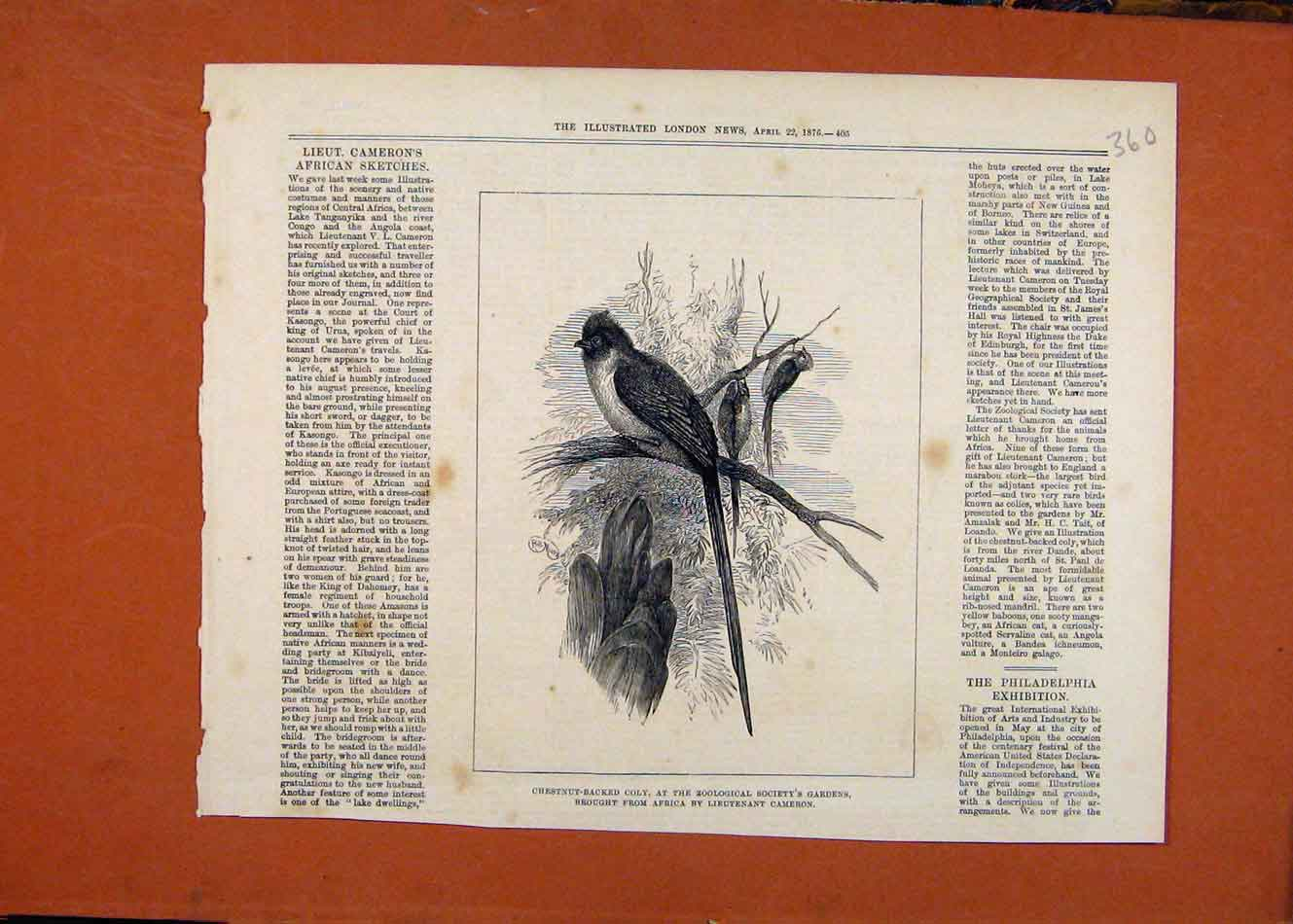 Print Chestbut Backed Coly Birds C1876 London News 608260 Old Original