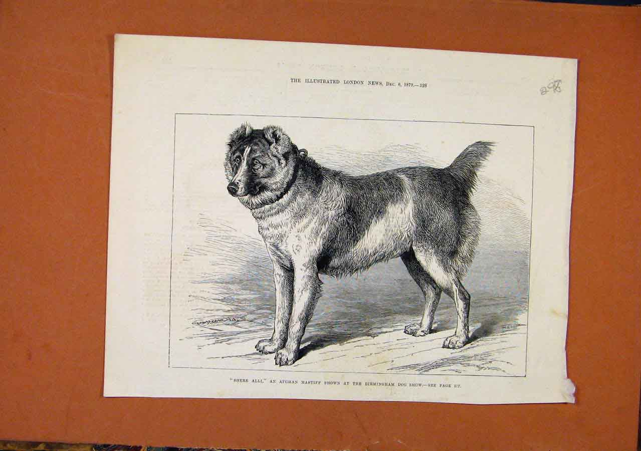Print Afgham Mastiff Birmingham C1879 London News 988270 Old Original