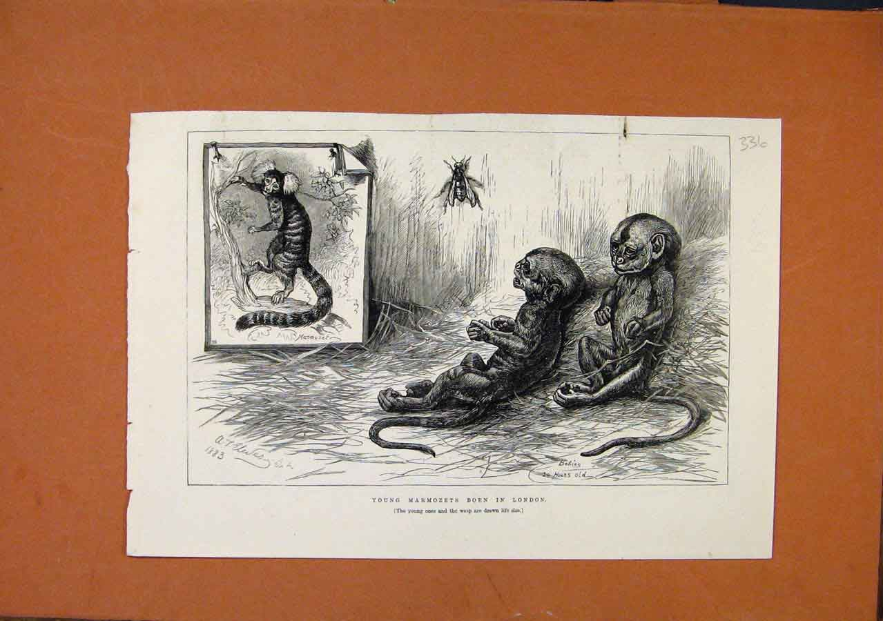 Print Young Marmozets Born In London C1887 The Graphic 368270 Old Original