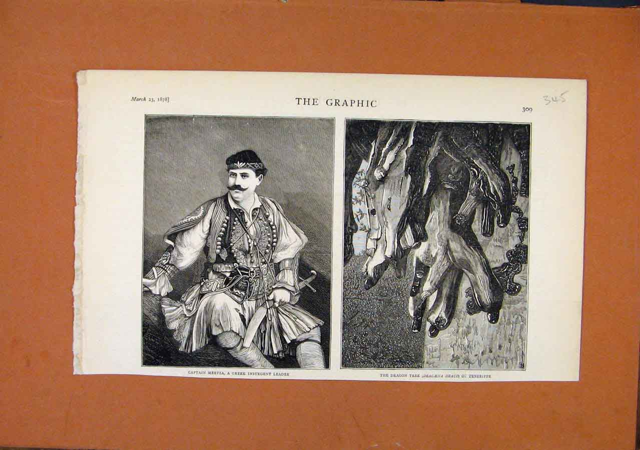 Print Greek Leader Meetza Dragon Tree Teneriffe C1878 Graphic 458270 Old Original