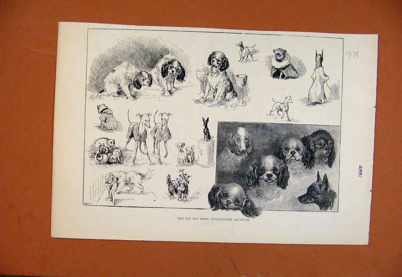 Print Toy Dog Show Westminster Aquarium C1887 718270 Old Original