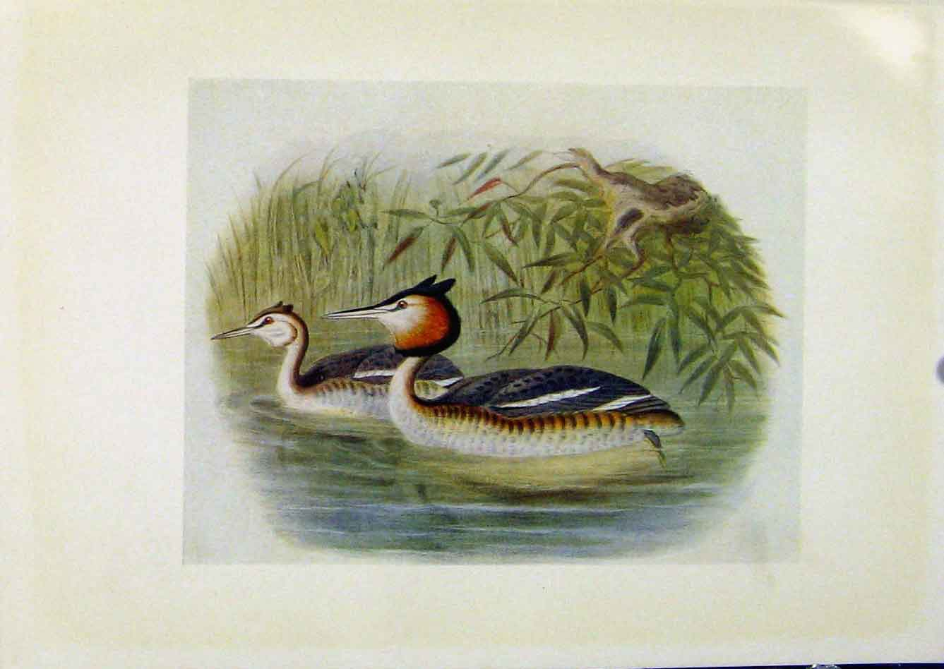 Print Birds Britain By Dresser Great Crested Grebe Color 028281 Old Original