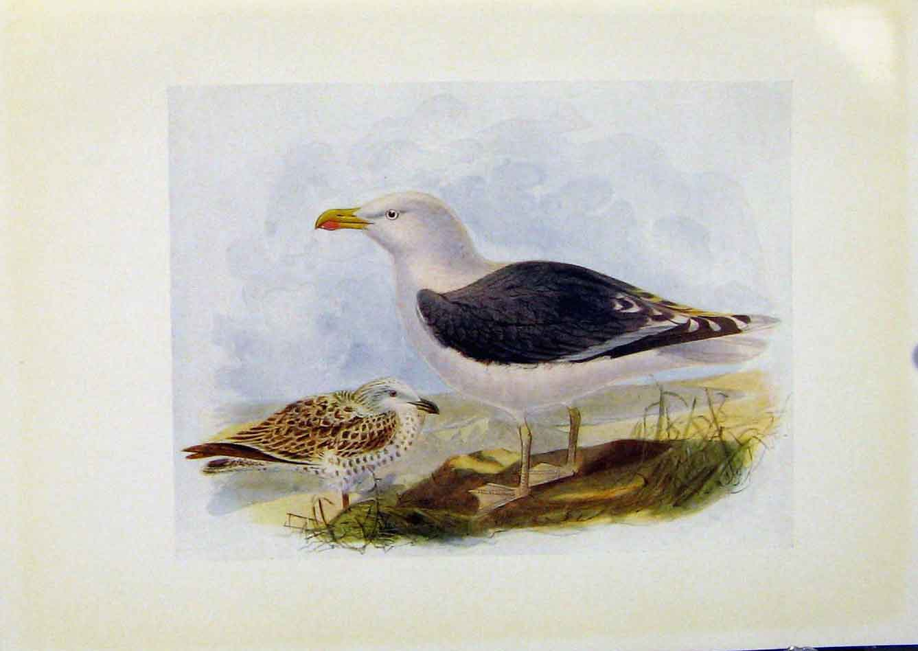 Print Birds Britain By Dresser Greater Black Backed Gull 098281 Old Original