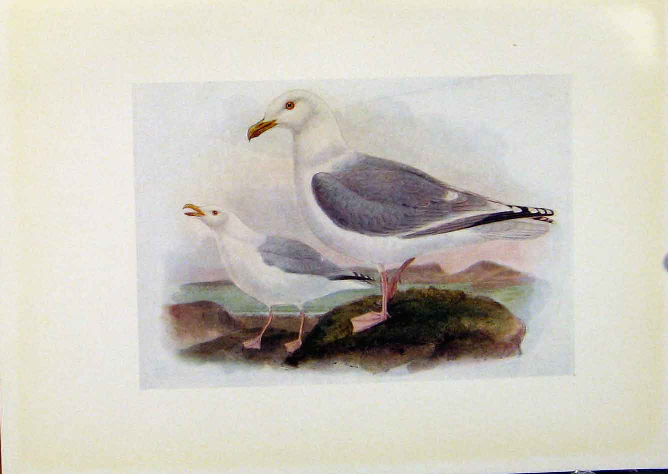Print Birds Britain By Dresser Color Herring Gull 108281 Old Original