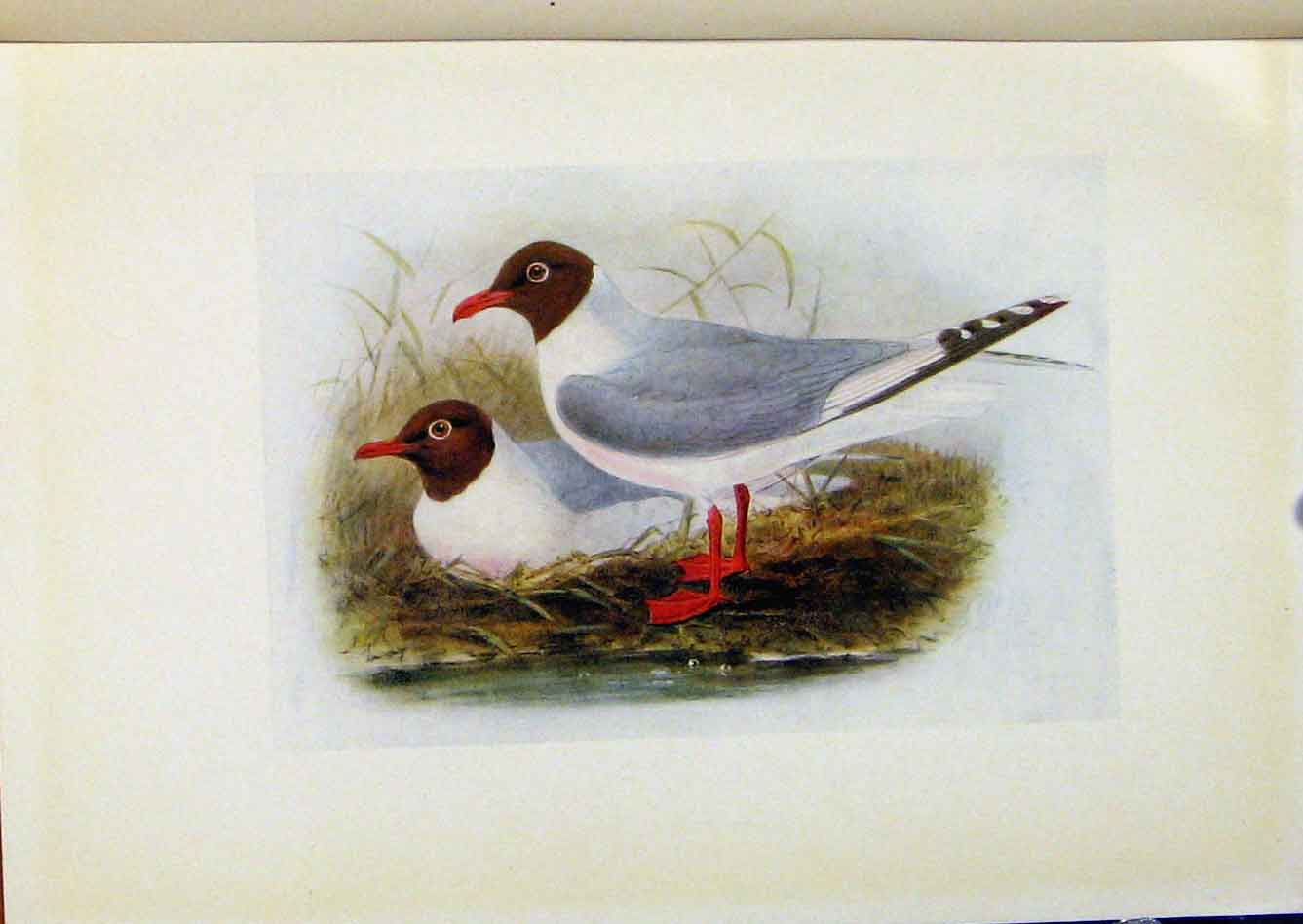 Print Birds Britain By Dresser Clack Headed Gull Color Art 118281 Old Original