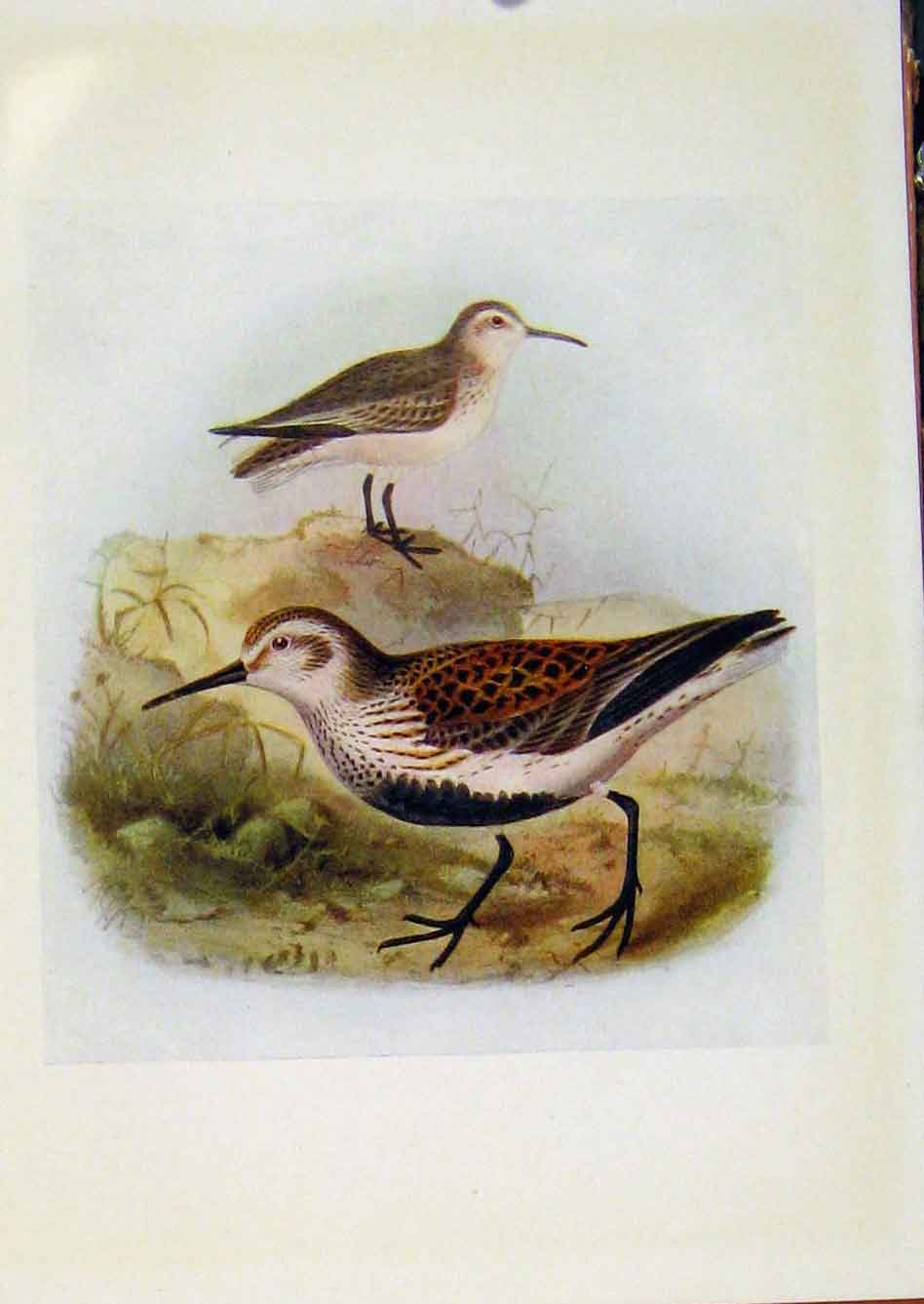 Print Birds Britain By Dresser Dunlin Color Fine Art 158281 Old Original