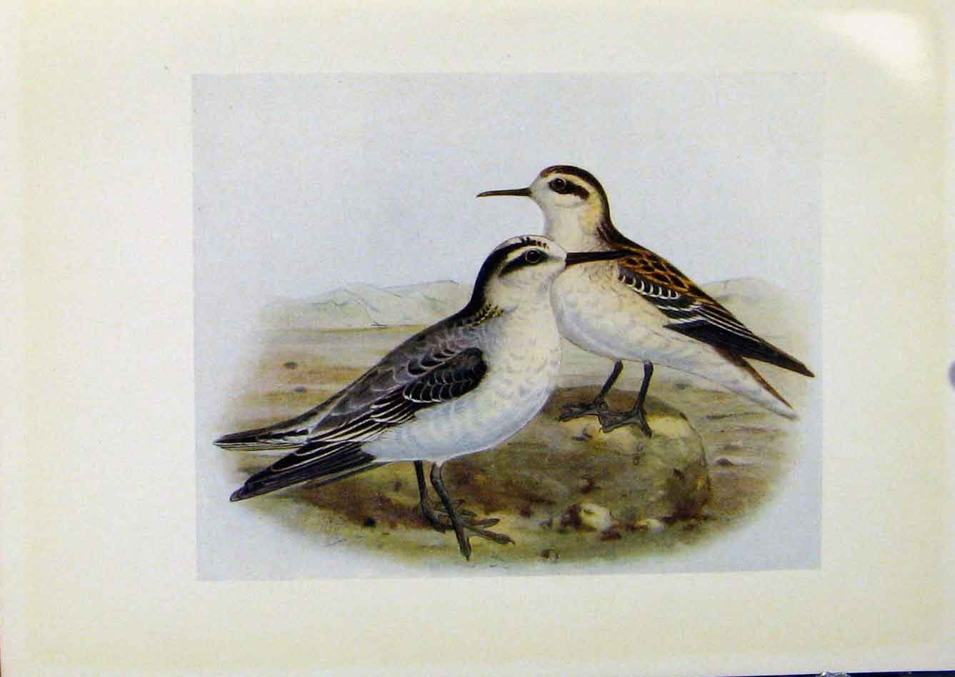 Print Birds Britain By Dresser Grey Phalarope Red Necked 178281 Old Original