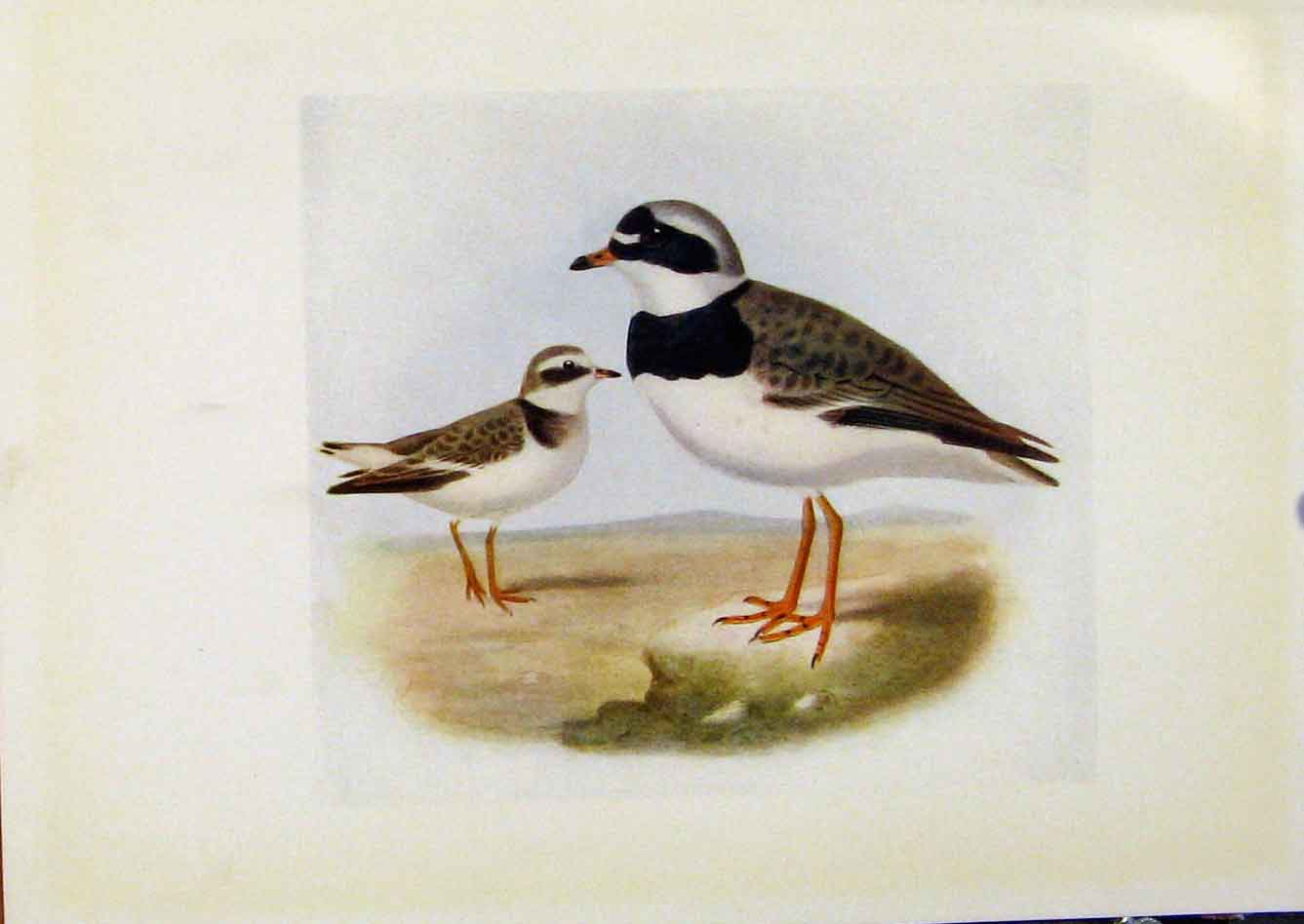 Print Birds Britain By Dresser Color Ringed Plover 218281 Old Original