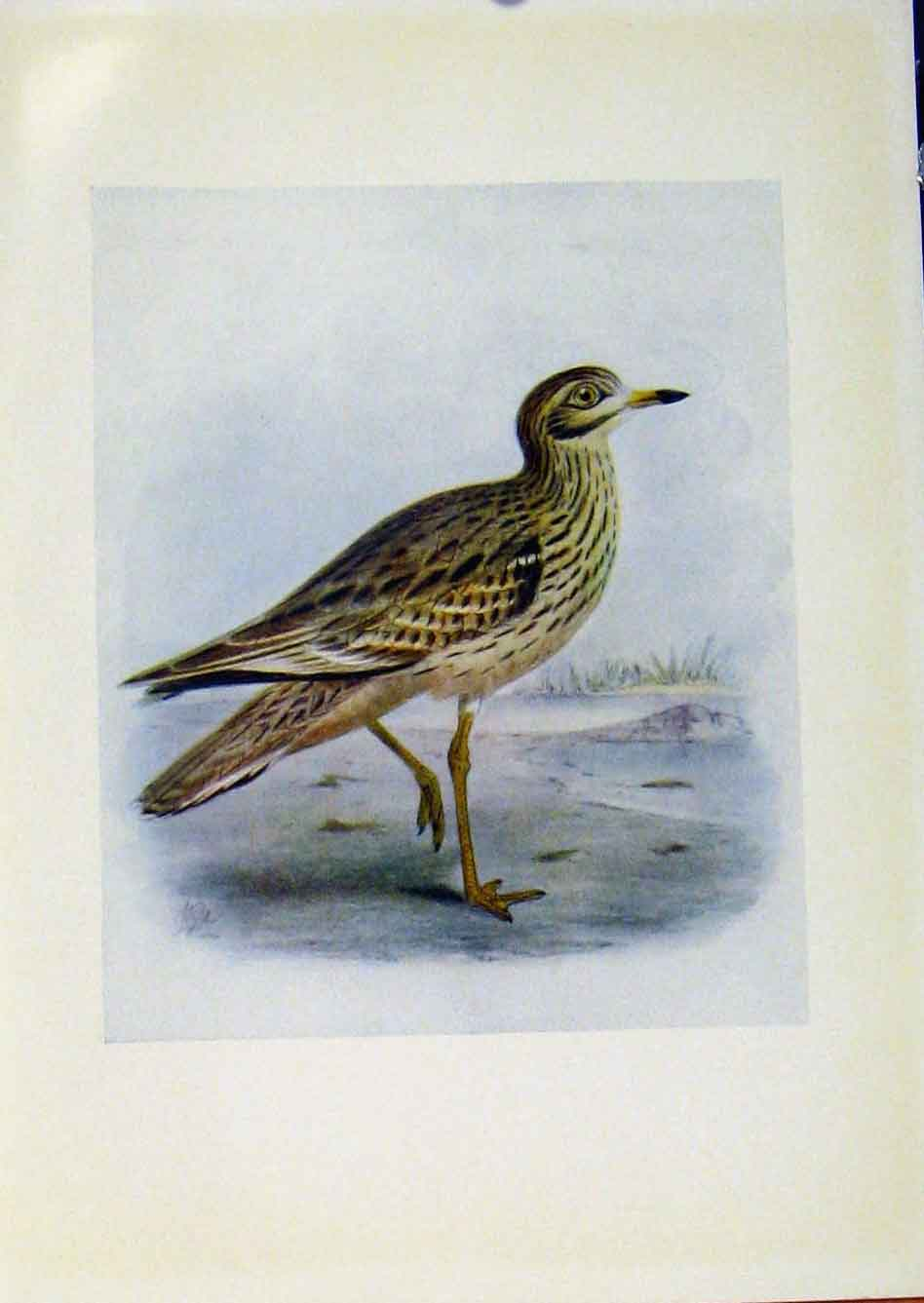 Print Birds Britain By Dresser Stone Curlew C1907 Color 228281 Old Original