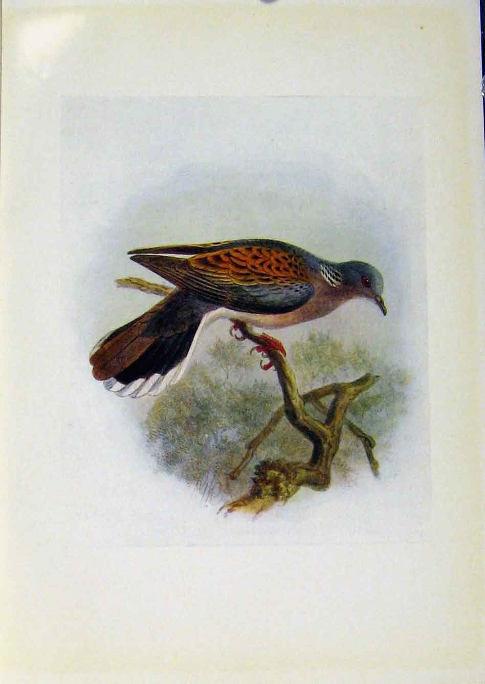 Print Birds Britain By Dresser Turtle Dove Color Fine Art 288281 Old Original