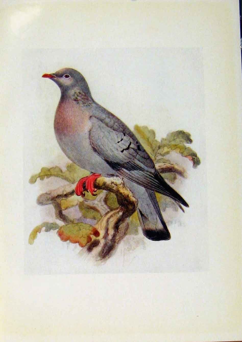 Print Birds Britain By Dresser Color Stock Dove Art 298281 Old Original