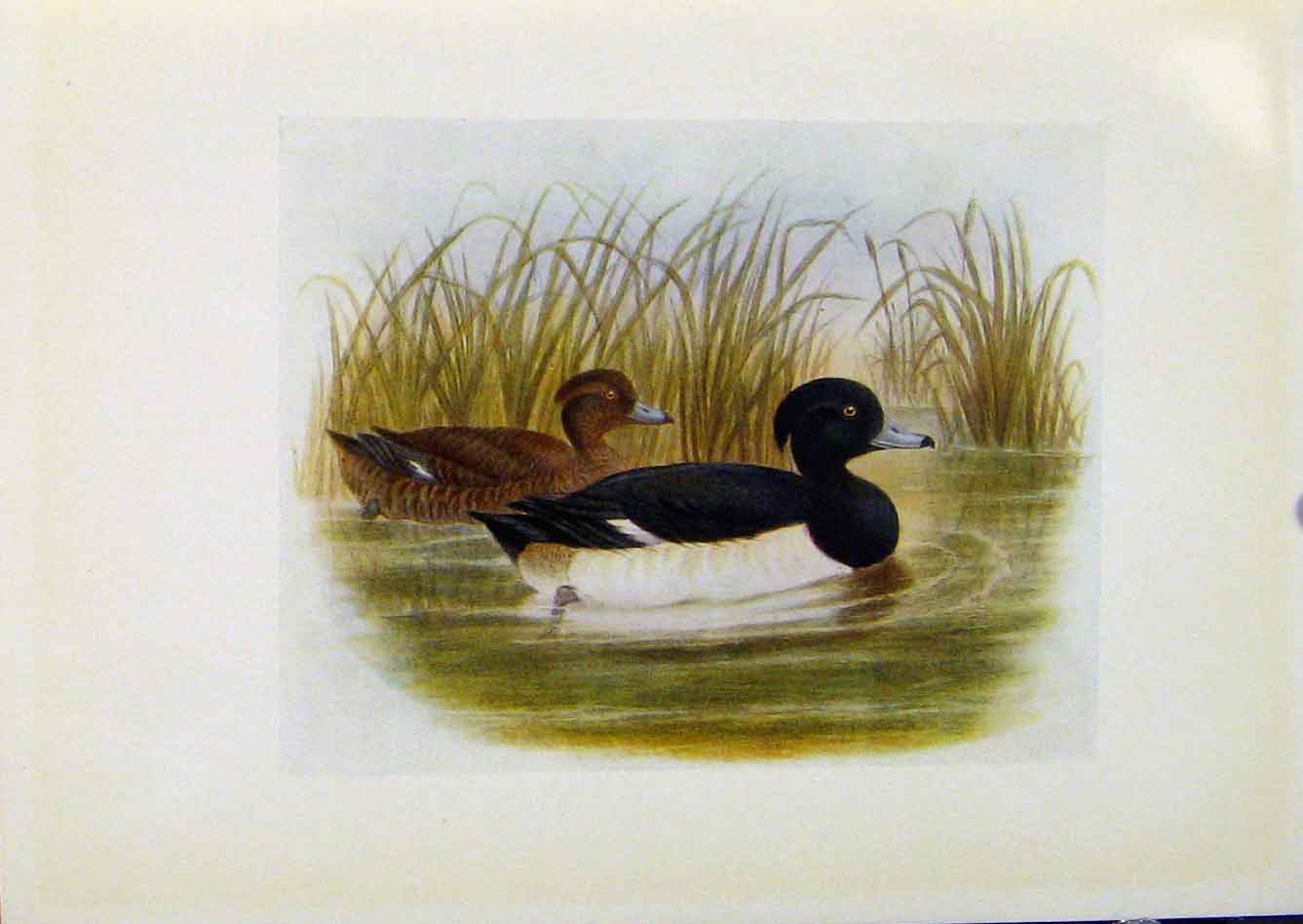 Print Birds Britain By Dresser Tufted Duck Color 190 328281 Old Original