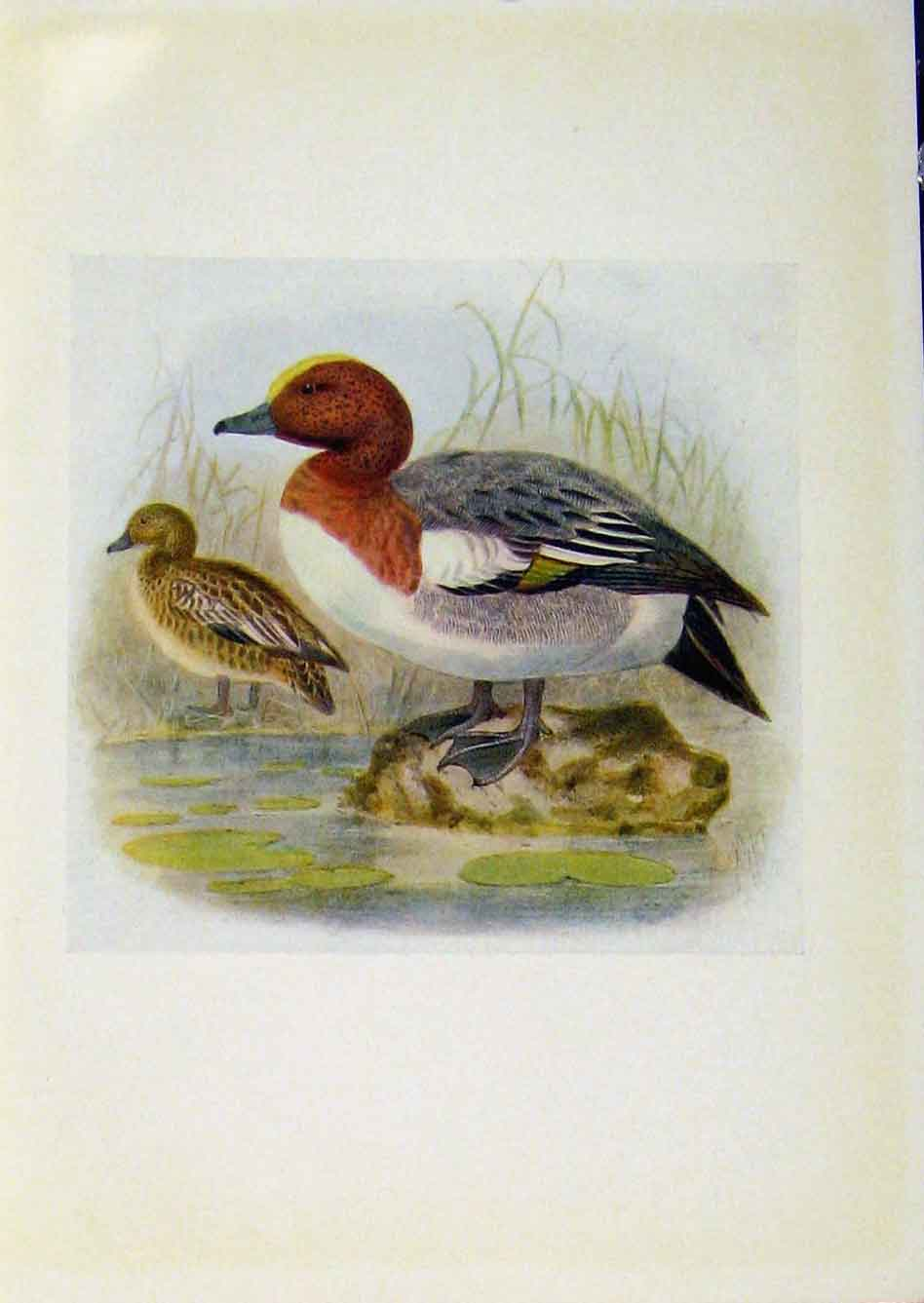 Print Birds Britain By Dresser Wigeon Color C1907 338281 Old Original