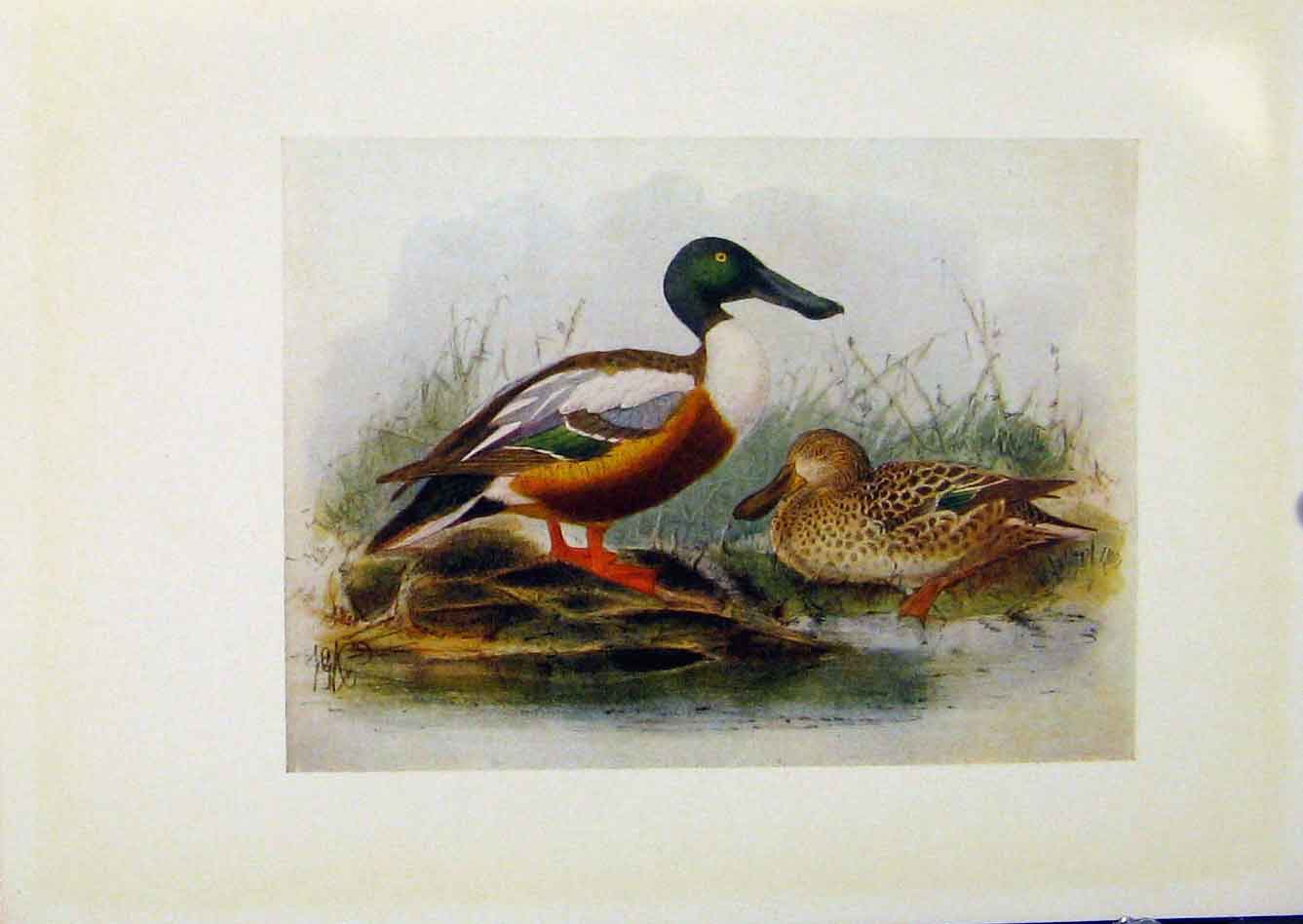 Print Birds Britain By Dresser Shoveller Color C1907 348281 Old Original