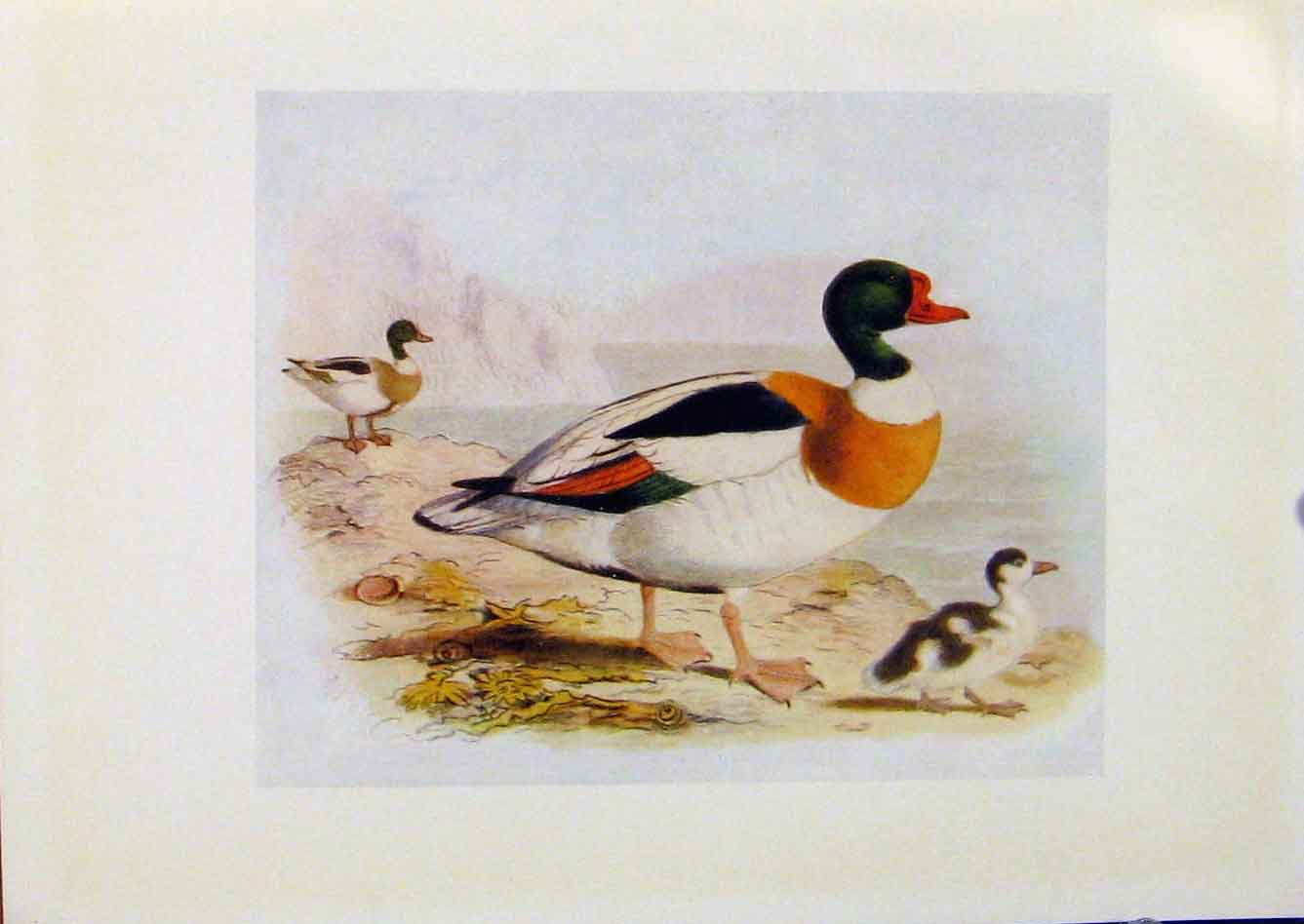 Print Birds Britain By Dresser Sheld Duck Color 1907 368281 Old Original