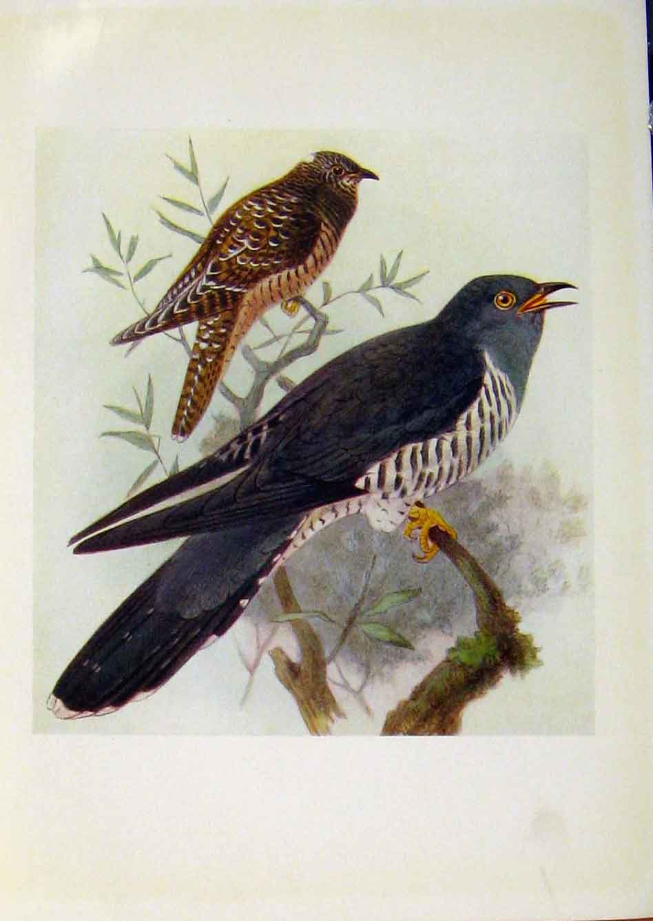 Print Birds Britain By Dresser Cuckoo Color C1907 458281 Old Original
