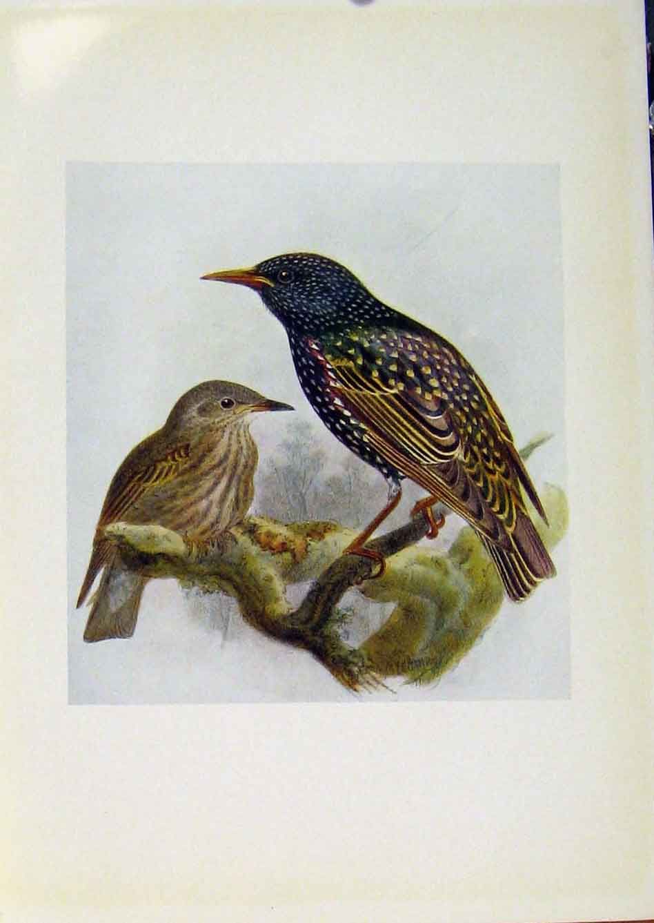 Print Birds Britain By Dresser Starling Color C1907 558281 Old Original