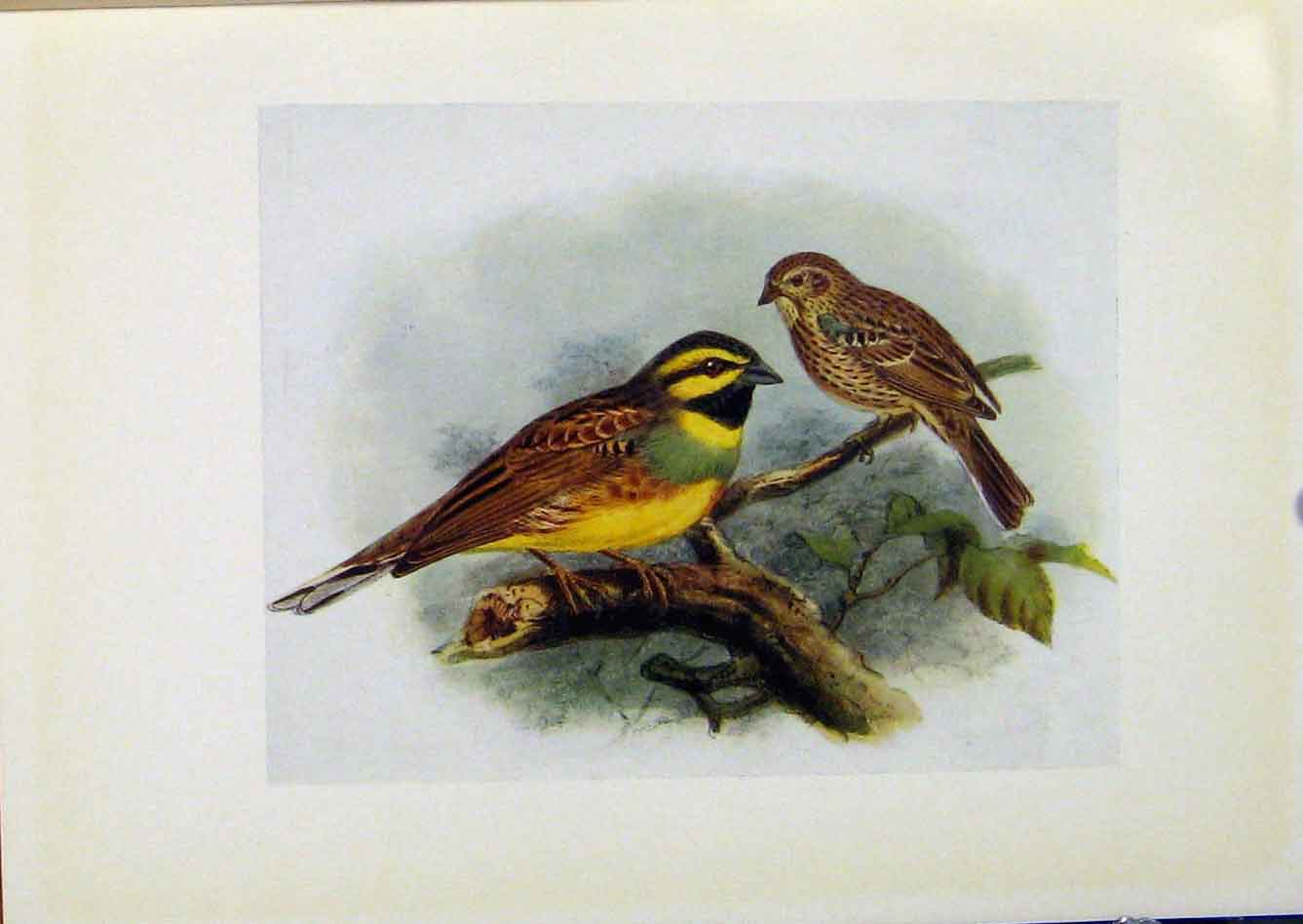 Print Birds Britain By Dresser Cirl Bunting C1907 Color 578281 Old Original