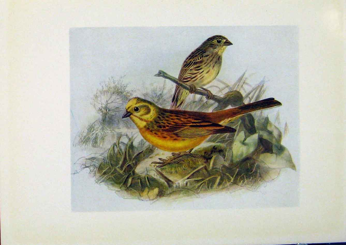 Print Birds Britain By Dresser Yellow Bunting Hammer 588281 Old Original