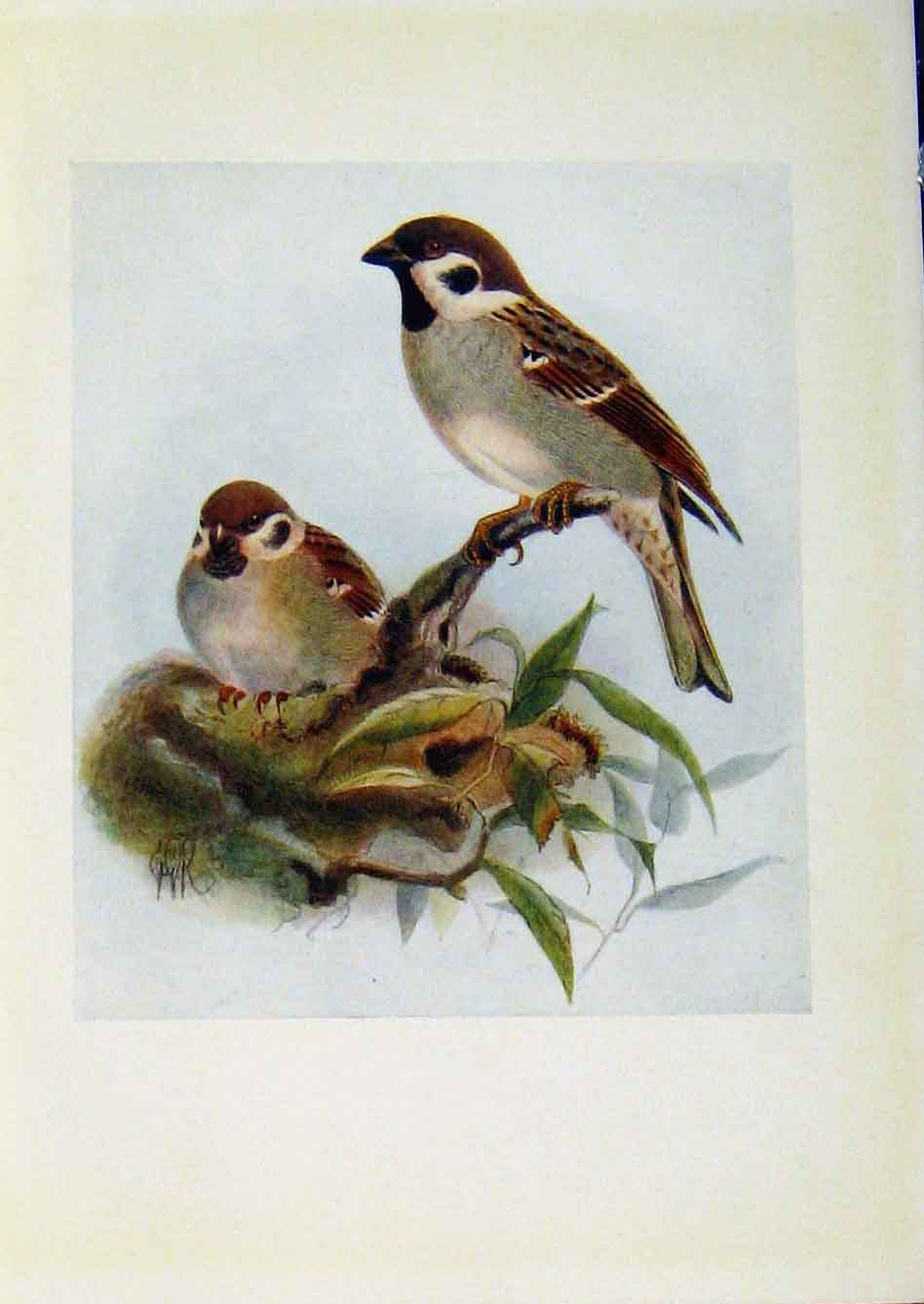 Print Birds Britain By Dresser Tree Sparrow Color Art 648281 Old Original