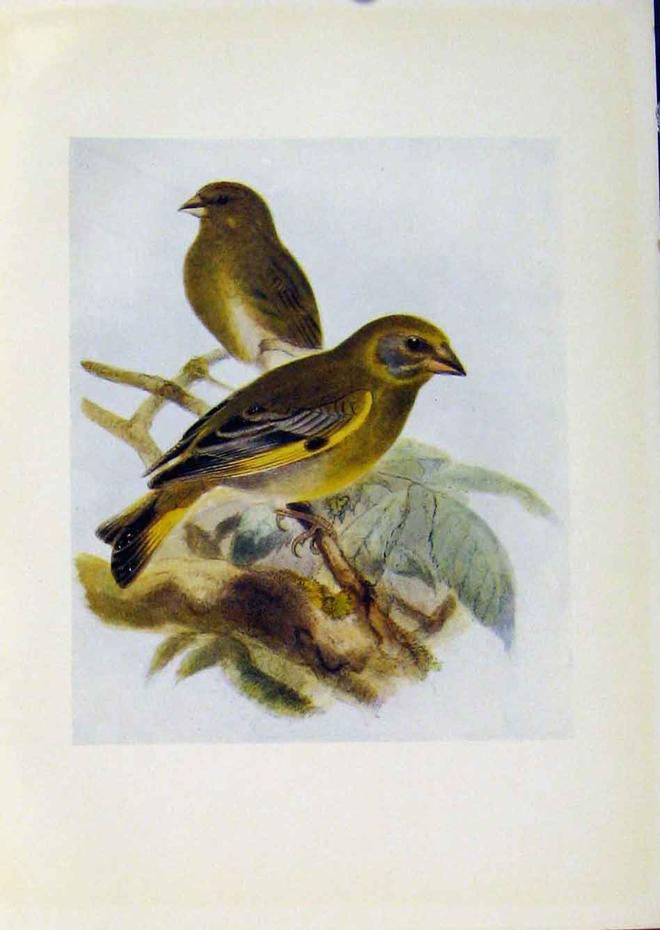 Print Birds Britain By Dresser Color C1907 Greenfinc 668281 Old Original