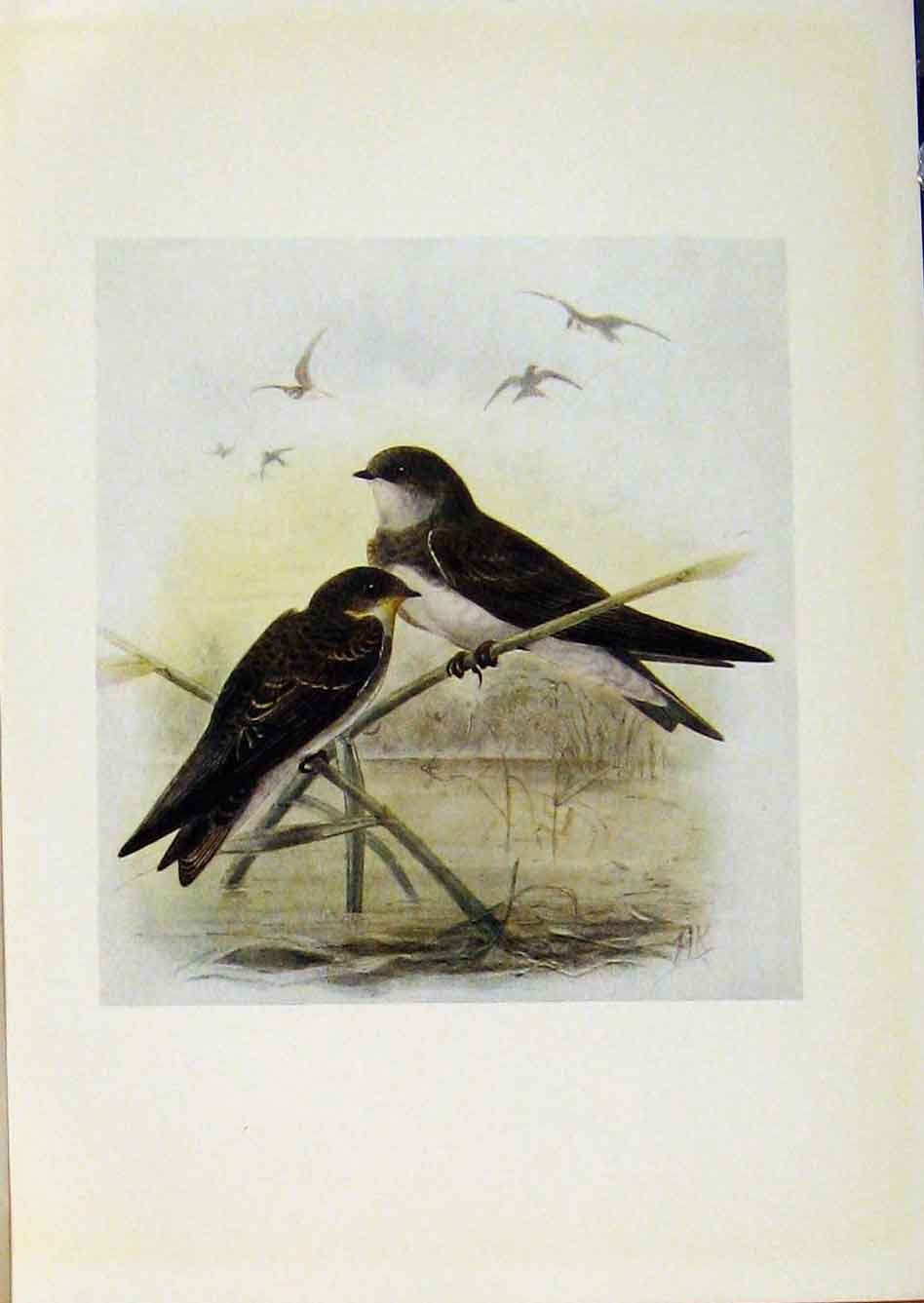 Print Birds Britain By Dresser Sand Martin Color 678281 Old Original