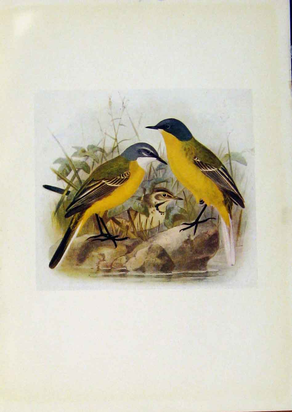 Print Birds Britain By Dresser Blue Headed Wagtail 728281 Old Original