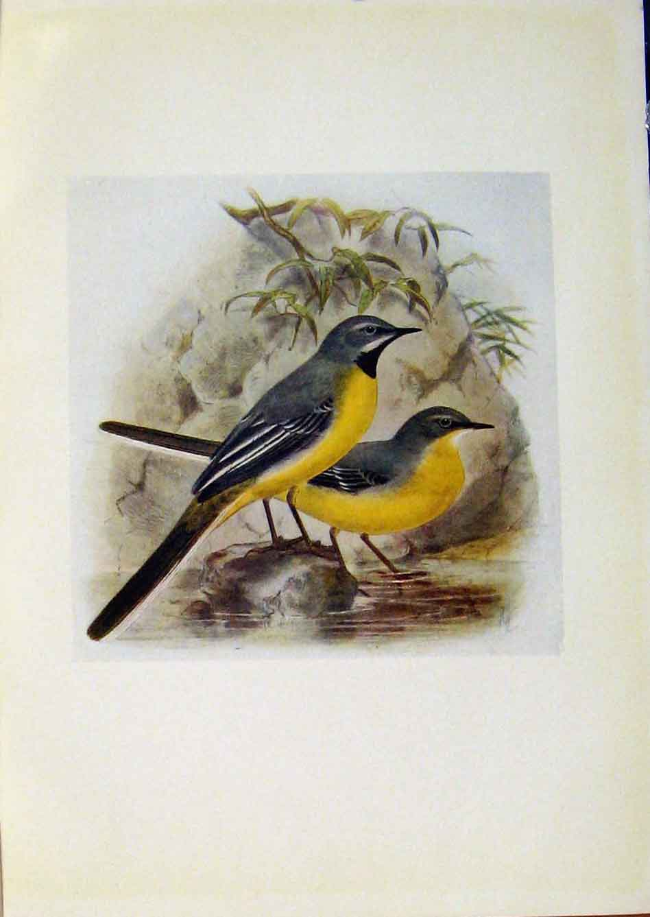Print Birds Britain By Dresser C1907 Grey Wagtail Color 738281 Old Original