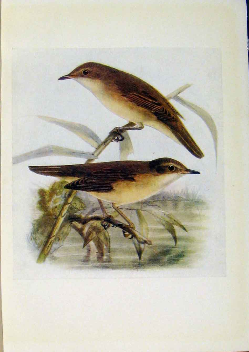 Print Birds Britain By Dresser Reed Warbler Marsh Warbler 848281 Old Original