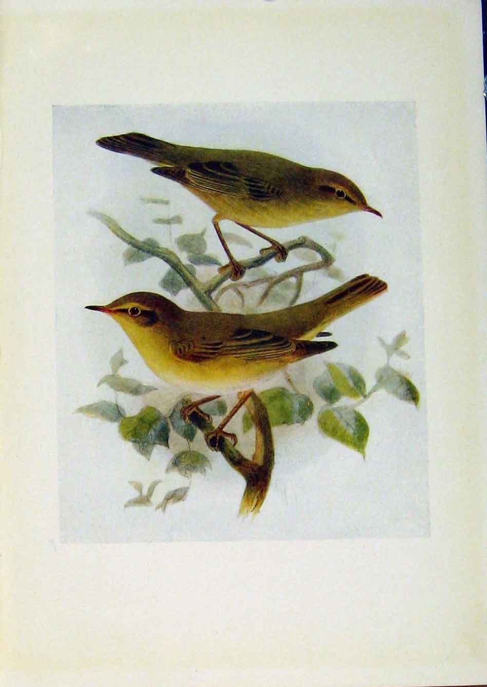 Print Birds Britain By Dresser Chiffchaff Willow Wren 858281 Old Original