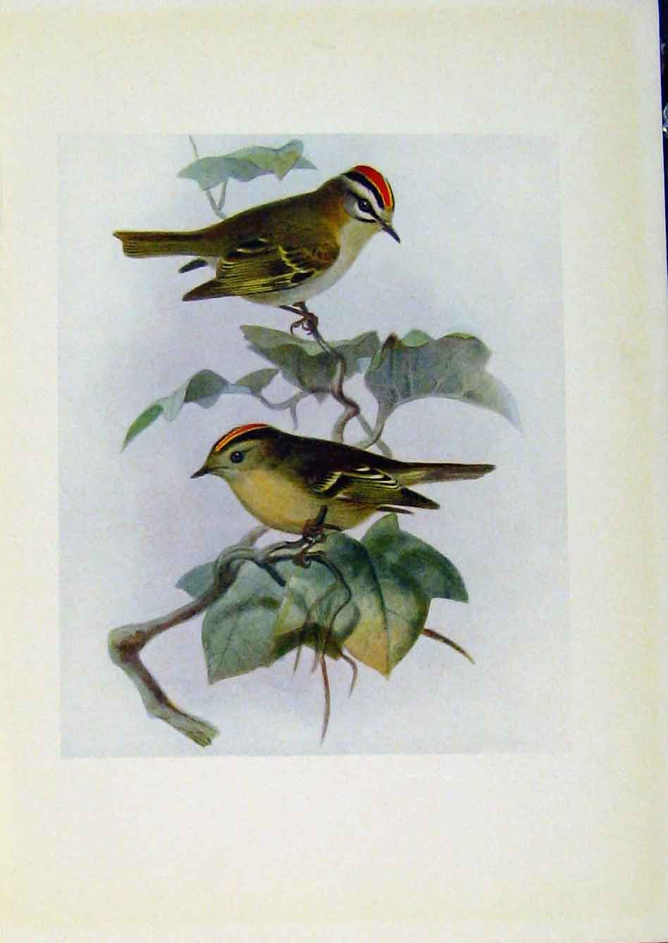 Print Birds Britain By Dresser Fire Golden Crested Wren 868281 Old Original