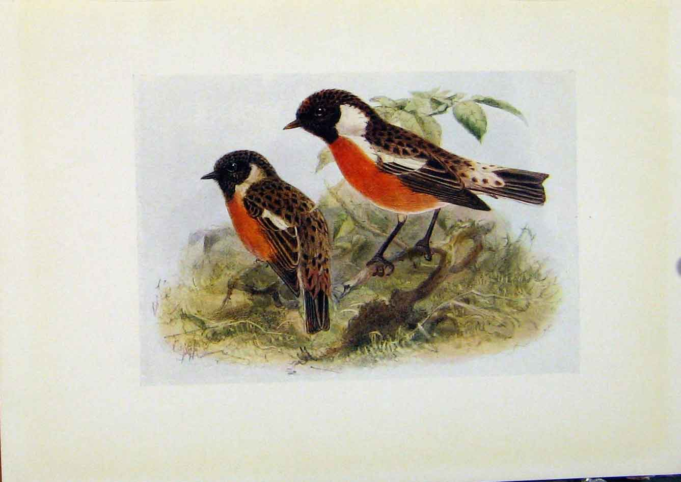 Print Birds Britain By Dresser Stonechat C1907 Color 948281 Old Original