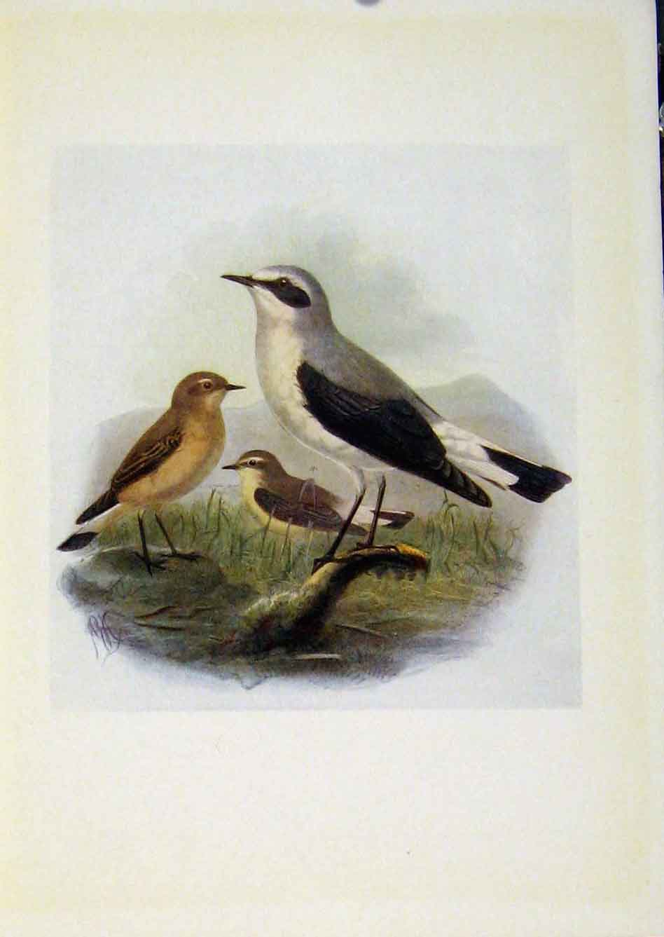 Print Birds Britain By Dresser Wheatear C1907 Color 958281 Old Original