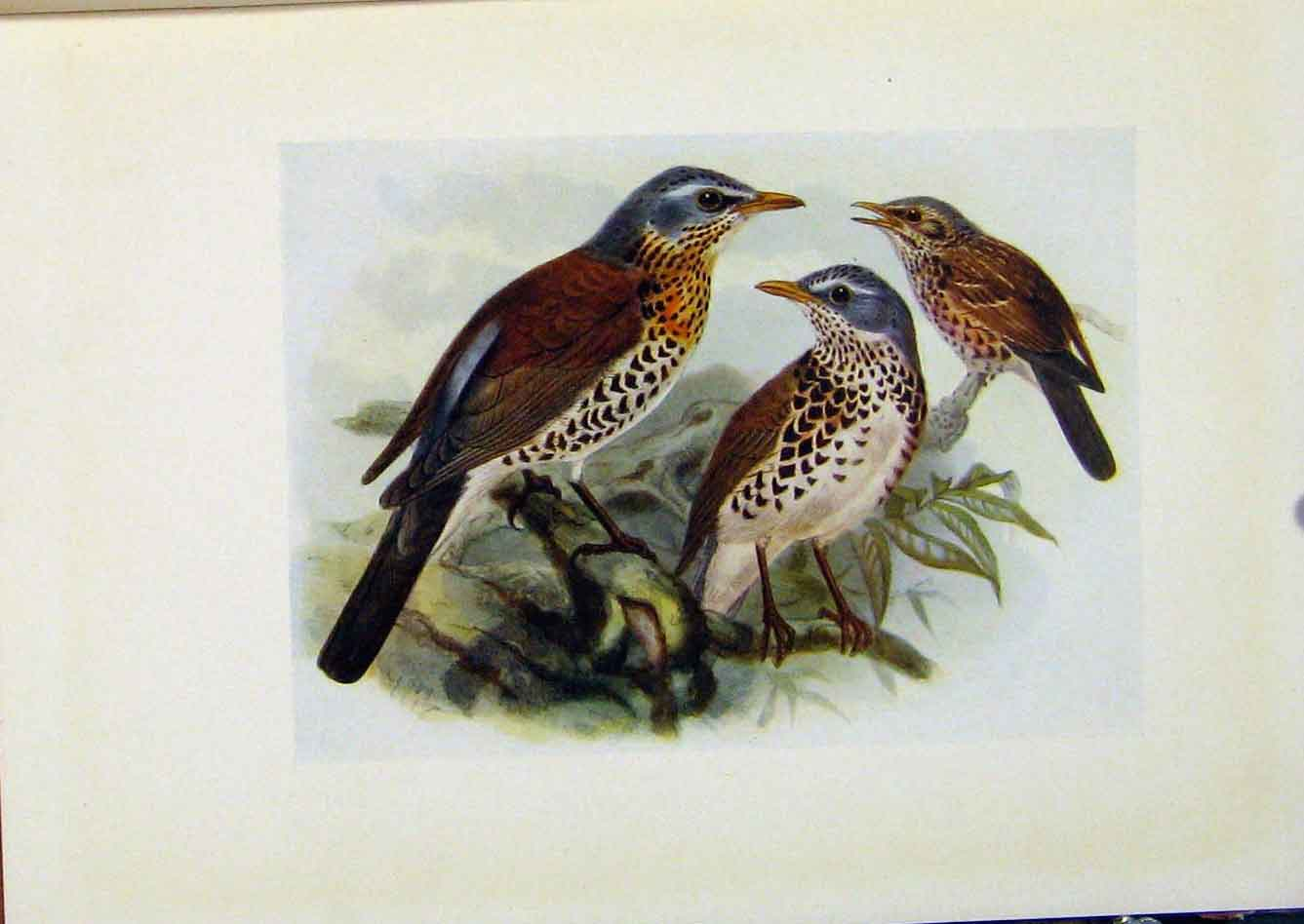 Print Birds Britain By Dresser Fieldfare Color C1907 988281 Old Original