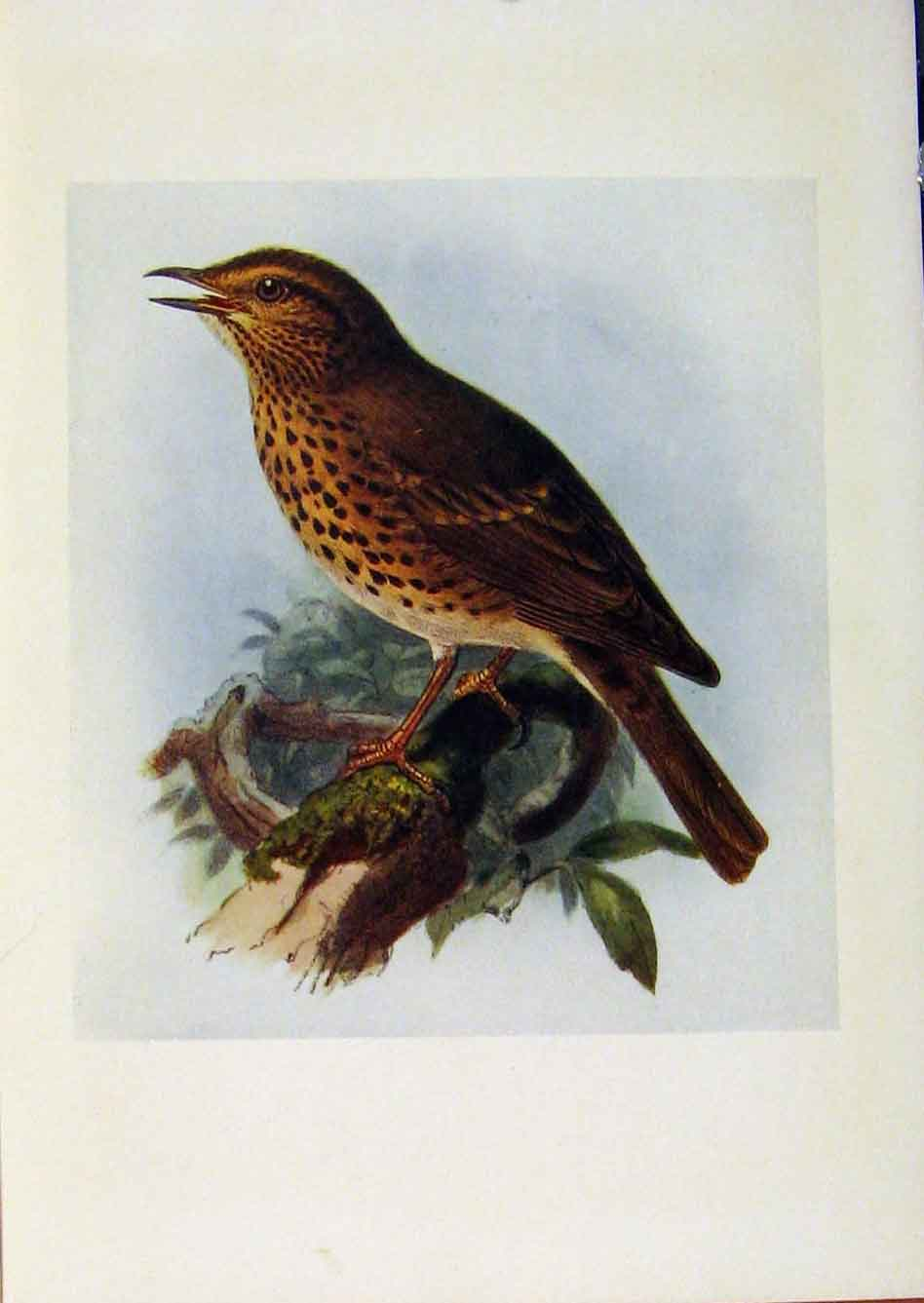 Print Birds Britain By Dresser Song Thrush Color C1907 Art 998281 Old Original