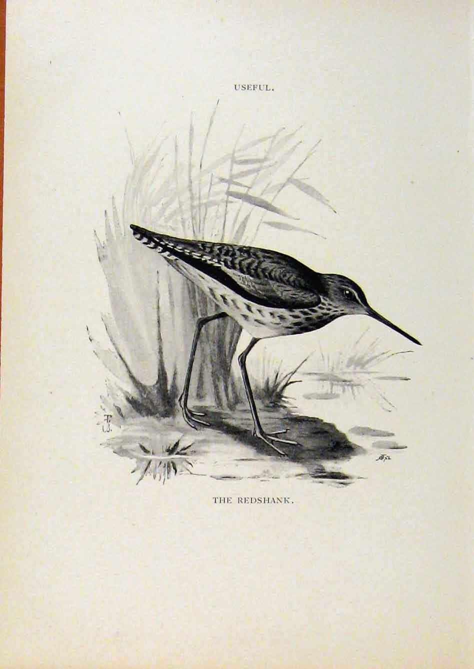 Print Birds Useful And Harmful Redshank By Csorgey C1909 Art 218291 Old Original