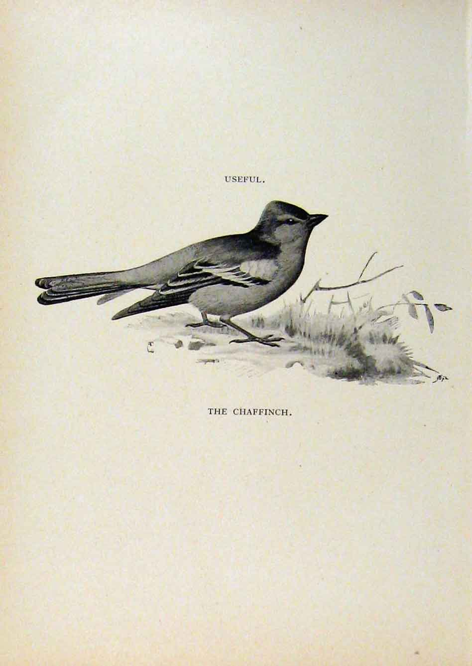 Print Birds Useful And Harmful Chaffinch C1909 By Csorgey 278291 Old Original