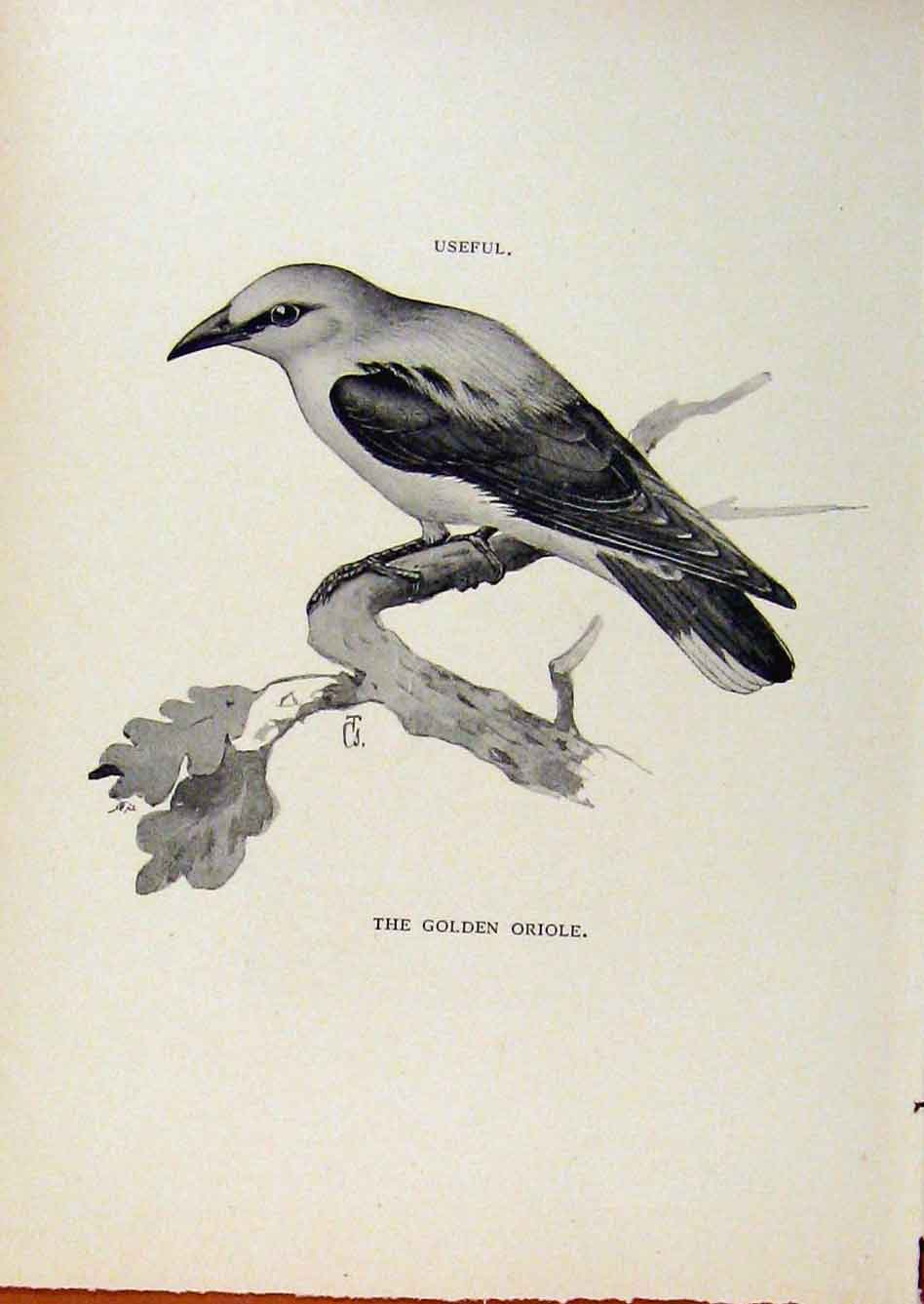 Print Birds Useful And Harmful Golden Oriole By Csorgey 318291 Old Original