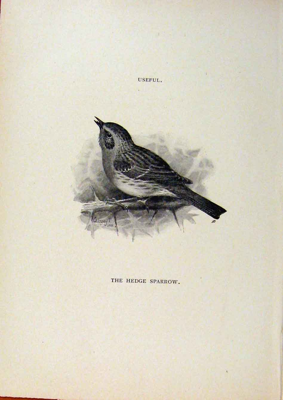 Print Birds Useful And Harmful Hedge Sparrow By Csorgey C1909 378291 Old Original