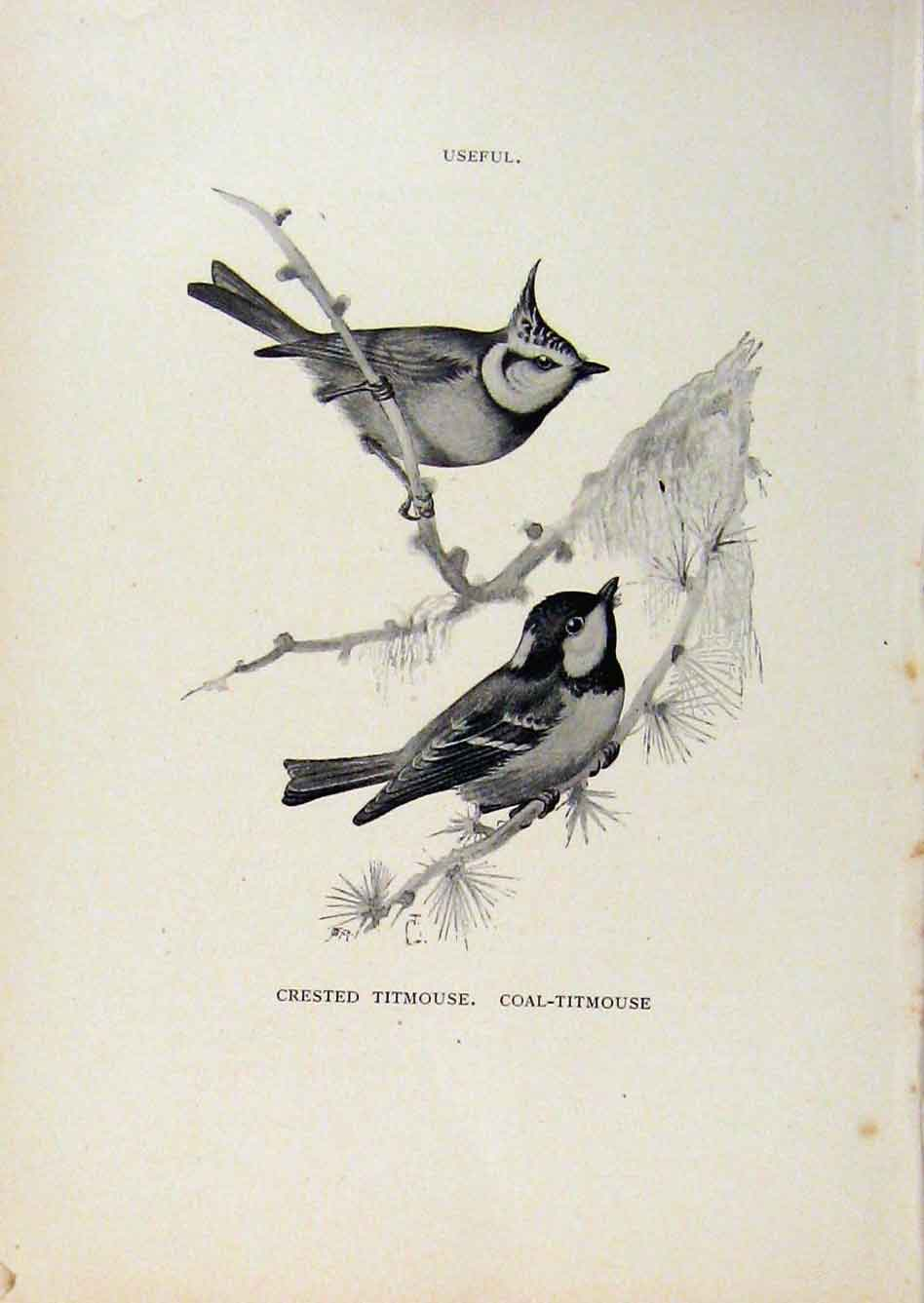 Print Birds Useful And Harmful Crested And Coal Titmouse 408291 Old Original