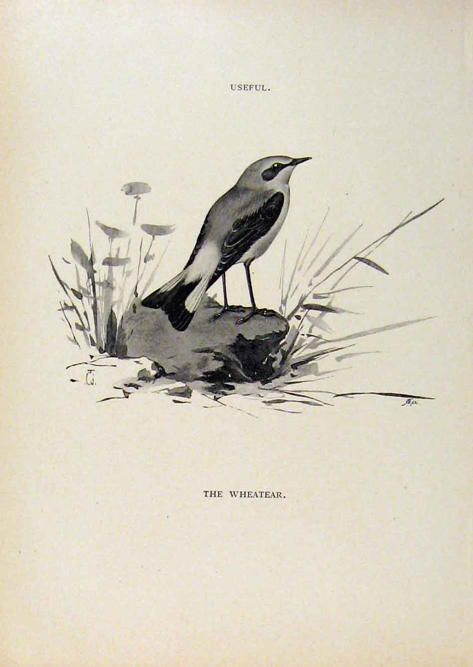 Print Birds Useful And Harmful Wheatear C1909 By Csorgey 448291 Old Original