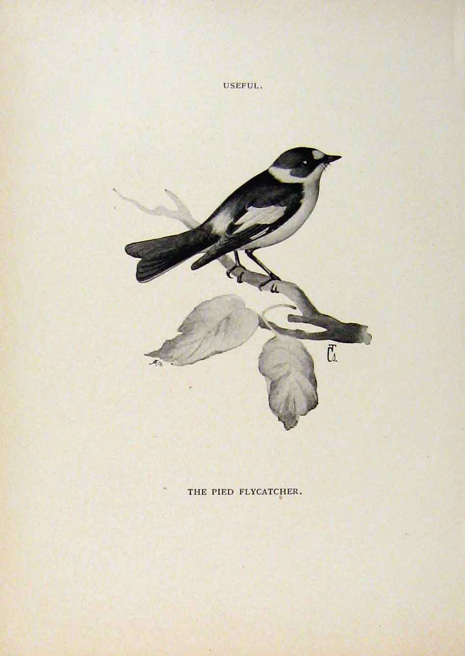 Print Birds Useful And Harmful Pied Flycatcher By Csorgey 458291 Old Original