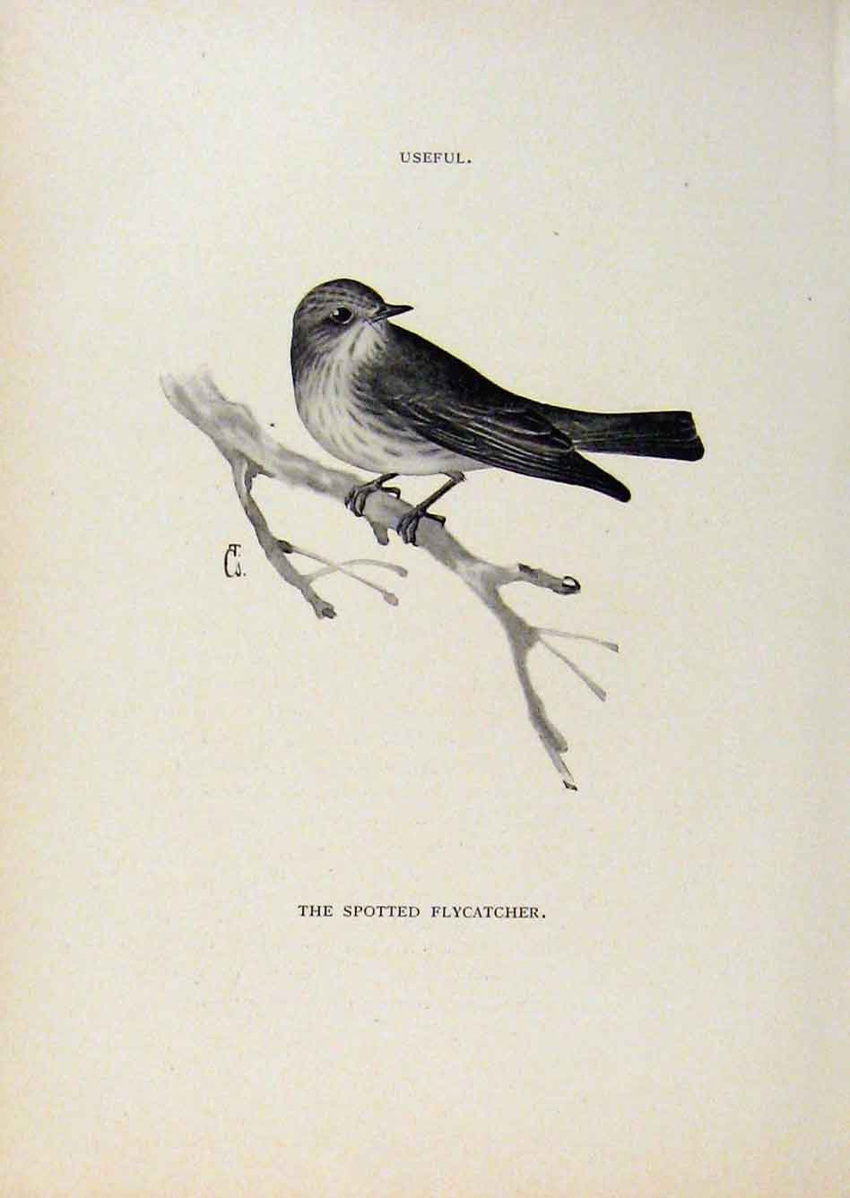 Print Birds Useful And Harmful Spotted Flycatcher By Csorgey 468291 Old Original