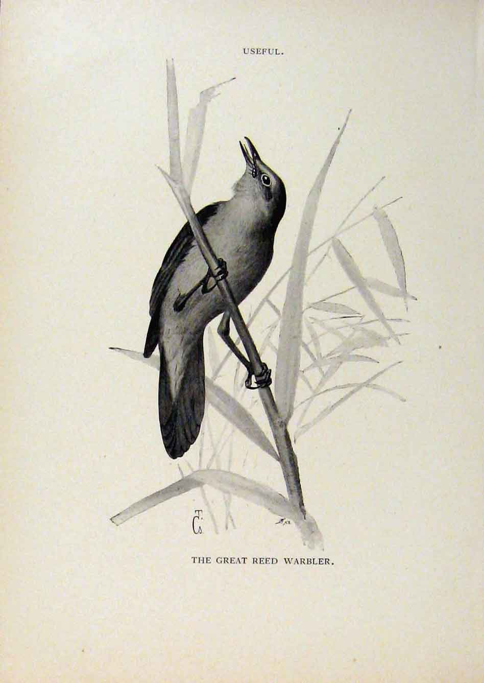 Print Birds Useful And Harmful Great Reed Warbler By Csorgey 488291 Old Original